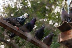Pombos empoleirados na linha na cerca Fundo dos pombos Foto de Stock