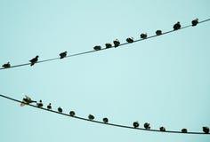 Pombos empoleirados no fio Imagens de Stock Royalty Free