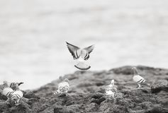 Pombos na costa de mar Imagem de Stock Royalty Free