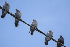 Pombos na linha Fotos de Stock Royalty Free