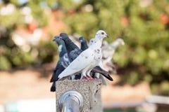 Pombos na ponte Imagem de Stock