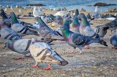 Pombos na praia Fotos de Stock Royalty Free