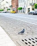 Pombos na rua fotos de stock royalty free