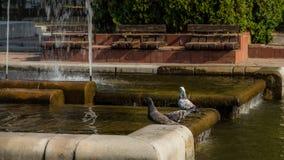 Pombos nas fontes Imagem de Stock