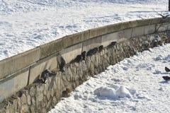 Pombos no dia gelado do inverno Imagens de Stock