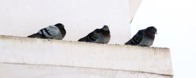 Pombos no inverno, pássaros que esperam o alimento dentro foto de stock