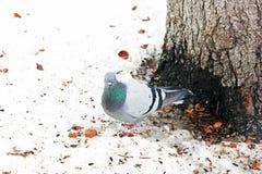 Pombos no inverno no parque foto de stock royalty free