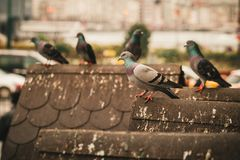 pombos no pátio novo da mesquita em Istambul fotos de stock