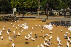 Pombos no parque Imagens de Stock Royalty Free