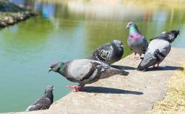Pombos no parque Foto de Stock Royalty Free