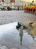 Pombos no quadrado da câmara municipal. Cidade velha. Tallinn, Fotografia de Stock