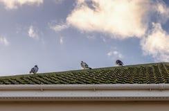 Pombos no telhado Foto de Stock