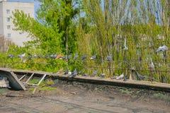 Pombos no telhado Imagens de Stock