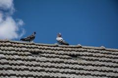 Pombos no telhado Fotos de Stock Royalty Free