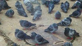 Pombos no tempo frio Pombos que comem o pão sobre vídeos de arquivo