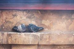Pombos, pássaros urbanos Fotografia de Stock Royalty Free