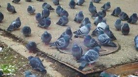 pombos Pombos que comem o pão na rua da cidade filme