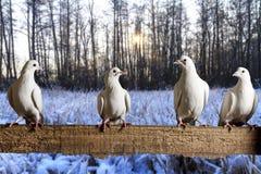 Pombos postais que sentam-se na manhã do inverno da cerca imagens de stock royalty free