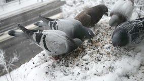 Pombos que alimentam a agitação filme