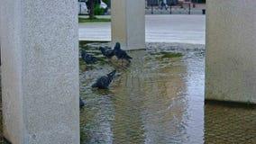 Pombos que andam na fonte da cidade no movimento lento video estoque