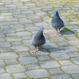 Pombos que andam no parque Foto de Stock