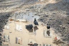 Pombos que banham-se em uma poça Fotos de Stock Royalty Free