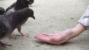 Pombos que bicam e que comem o alimento da mão humana video estoque