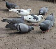 Pombos que bicam a grão Fotos de Stock Royalty Free