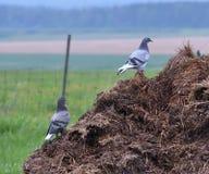 Pombos que penduram para fora no terreiro fotos de stock