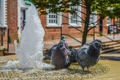 Pombos que refrigeram fora em público a fonte de água Imagens de Stock