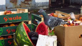 Pombos que roubam o alimento foto de stock royalty free