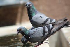 Pombos que satisfazem a sede no meio do verão imagem de stock