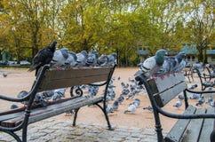 Pombos que sentam-se em benchs de um parque da cidade em um dia chuvoso do outono imagens de stock