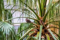 Pombos que sentam-se na palmeira imagem de stock