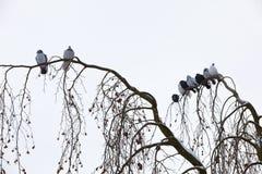 Pombos que sentam-se no ramo no inverno Imagem de Stock Royalty Free