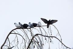Pombos que sentam-se no ramo no inverno Fotografia de Stock