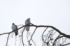 Pombos que sentam-se no ramo no inverno Fotografia de Stock Royalty Free