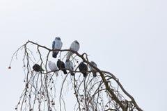 Pombos que sentam-se no ramo no inverno Foto de Stock Royalty Free