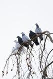 Pombos que sentam-se no ramo no inverno Imagens de Stock