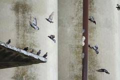 Pombos que voam à parede fotografia de stock royalty free