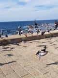 Pombos que voam no acre, Israel fotografia de stock