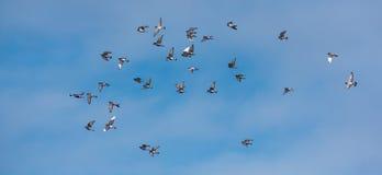 Pombos que voam no céu Imagens de Stock