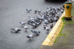 Pombos selvagens com fome que alimentam na estrada imagens de stock royalty free