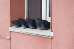 Pombos selvagens no inverno, sentando-se na borda perto da janela Fotos de Stock Royalty Free