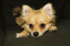 Pomchi Look. A pomeranian-chihuahua, Pomchi, mixed breed puppy looks like a fox Stock Images