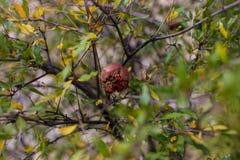 Pomegranade na drzewie na zielonym backgroung Zdjęcie Stock