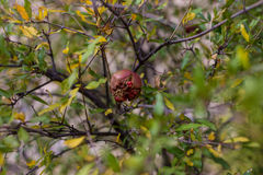 Pomegranade on tree on green backgroung. And leafs stock photo