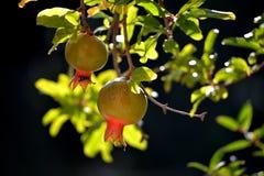 Pomegranades Imagem de Stock Royalty Free