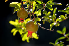 Pomegranades. Details of Pomegranates hanging in the tree Royalty Free Stock Image