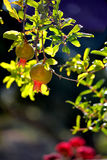 Pomegranades. Details of Pomegranates hanging in the tree Stock Photography